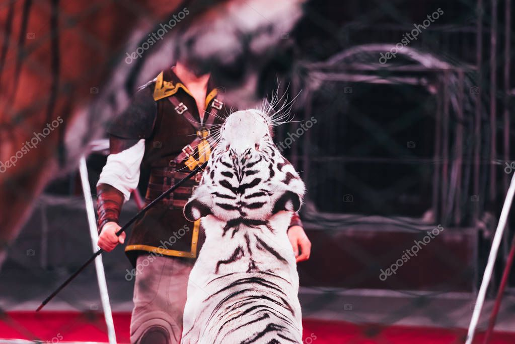 KYIV, UKRAINE - NOVEMBER 1, 2019: Selective focus of handler doing trick with tiger in circus stock vector