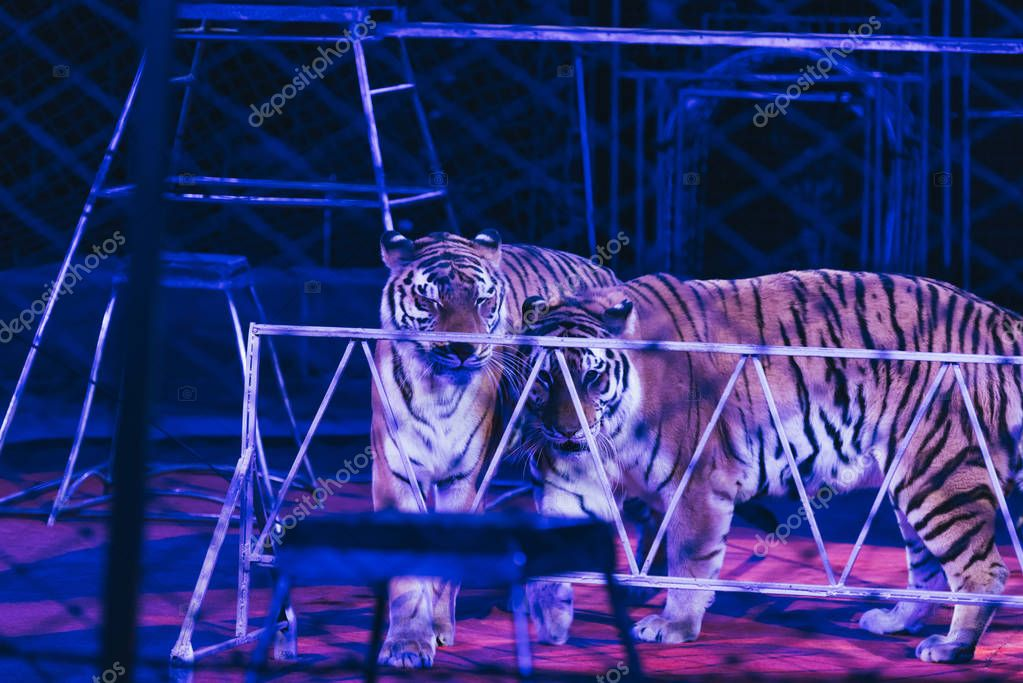 KYIV, UKRAINE - NOVEMBER 1, 2019: Tigers with equipment at circus stage stock vector