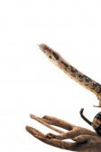 selektiver Fokus des Pythons mit herausgestreckter Zunge auf hölzernem Haken isoliert auf weißem
