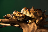 Selective focus of python twisted around wooden log with sunlight isolated on grey