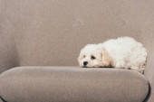 Photo cute and white Havanese puppy lying on armchair