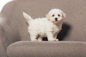 Photo cute and white Havanese puppy standing on armchair