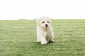 Photo cute Havanese puppy on green grass isolated on white