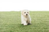 roztomilé havanské štěně na zelené trávě izolované na bílém
