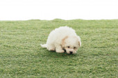Photo cute Havanese puppy smelling grass isolated on white