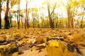 žluté listí