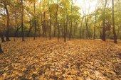 podzimní les plný zlatých stromů