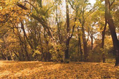 Autumn forest full of golden trees on sunny day stock vector