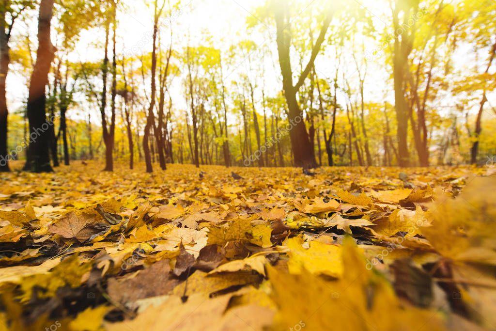 yellow fallen leaves
