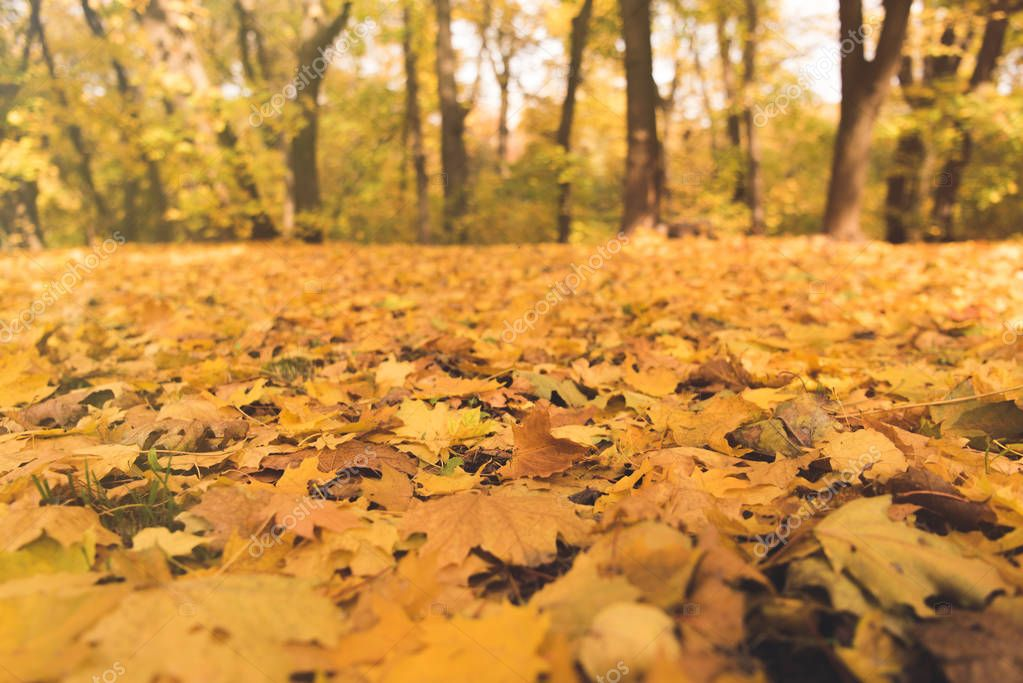 fallen leaves in autumn park