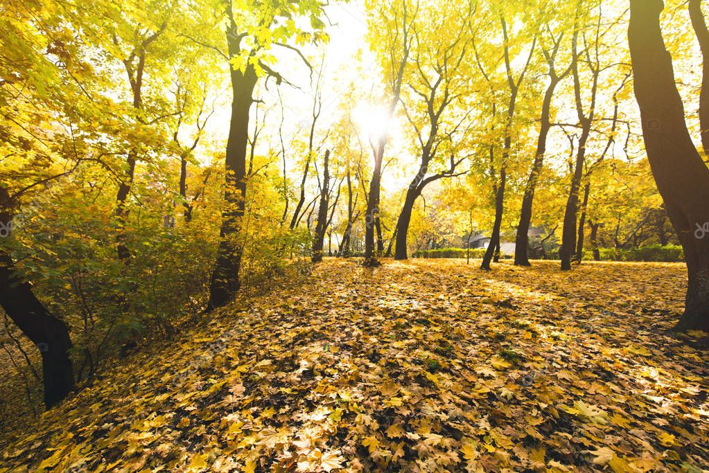 autumn forest covered with fallen leaves