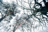 bottom view of trees beautiful winter forest against white cloudy sky