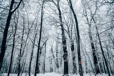 tranquil winter forest under white cloudy sky