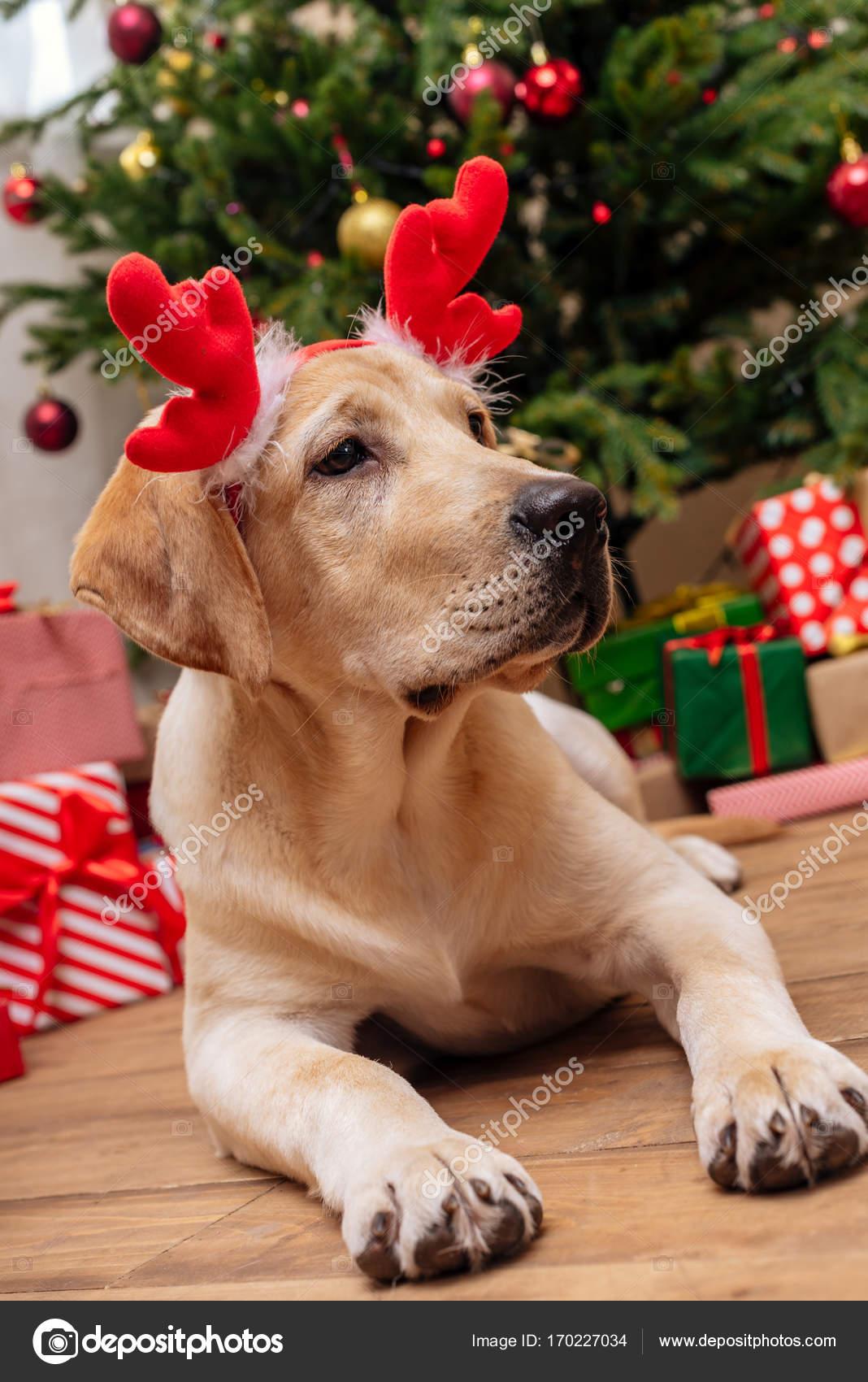 Labrador mit Weihnachten Rentier-Geweih — Stockfoto © VitalikRadko ...