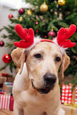Photo labrador with christmas reindeer antlers
