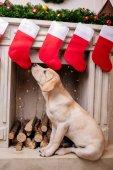 Labrador na krb s vánoční ponožky
