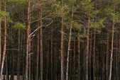 Photo pine forest