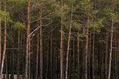 fenyves erdő