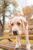 labrador dog on bench