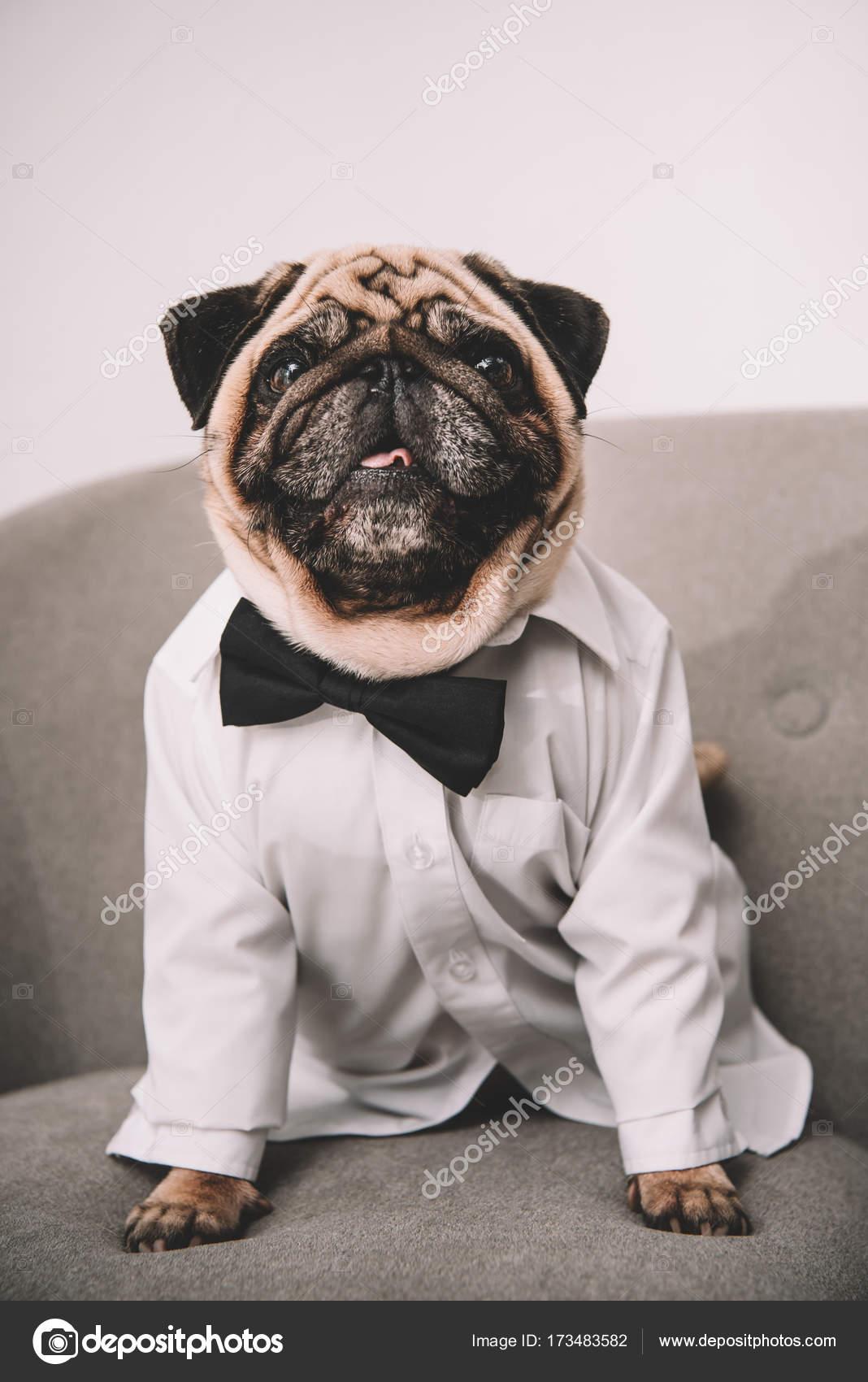 Popular Pug Bow Adorable Dog - depositphotos_173483582-stock-photo-stylish-pug  Perfect Image Reference_51856  .jpg