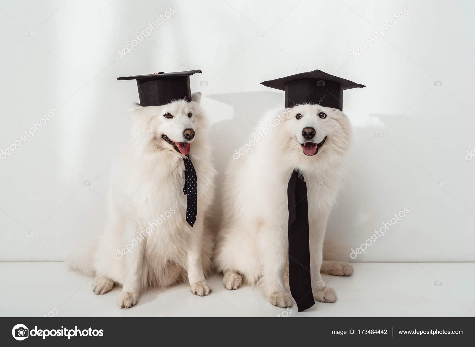 Cool Graduation Cap Black Adorable Dog - depositphotos_173484442-stock-photo-dogs-in-graduation-hats  HD_304998  .jpg