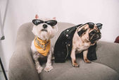 Fotografie stylish dogs in sunglasses
