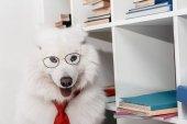 samojed pes v kravatu na pracovišti