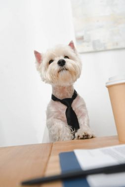 west highland white terrier in necktie