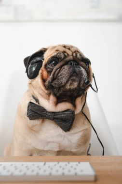pug in headset and bow tie