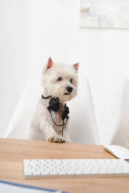 business dog in headset