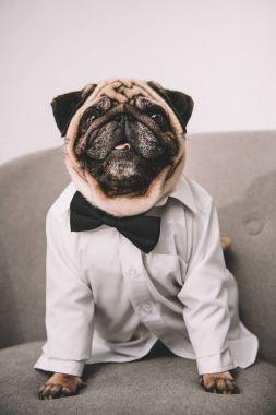 stylish pug