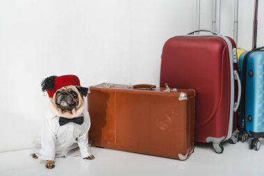 stylish pug with suitcases