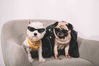 stylish dogs in sunglasses