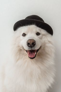 fluffy dog in hat