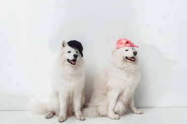 Adorable fluffy samoyed dogs in caps sitting together on white stock vector