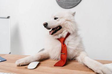 samoyed dog in necktie at workplace