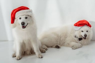 Two funny fluffy samoyed dogs in santa hats looking at camera stock vector