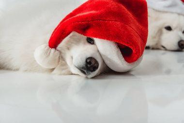 fluffy dogs in santa hats