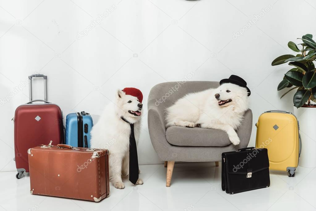 samoyed dogs with suitcases