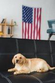 Fotografie Zblízka pohled labrador štěně ležící na kožené pohovce