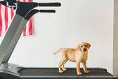 Fotografie Image of labrador puppy standing on treadmill