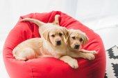 Due cuccioli beige che si trova sulla sedia del sacchetto rosso