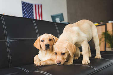 Close up view of two beige puppies on leather couch