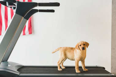 Image of labrador puppy standing on treadmill