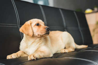 Closeup view of labrador puppy on leather couch