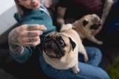 cropped image of tattooed couple with funny pug dogs at home