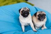 dva roztomilý pugs na modrém křesle doma