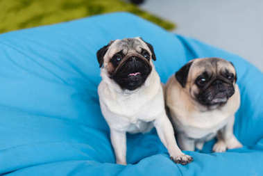 two cute pugs on blue bean bag chair at home