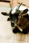selektivní zaměření roztomilé kozy v zoo