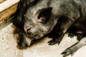 selective focus of cute pigs in zoo
